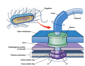 Are prokaryotic flagella and eukaryotic flagella different