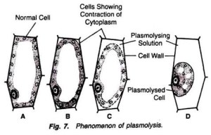 What will happen when a plant cell is kept in hypotonic solution?  Quora