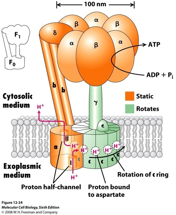 Does Proton How Work Pump