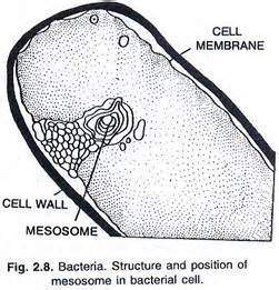 What is the role of mesosome in the cell membrane of