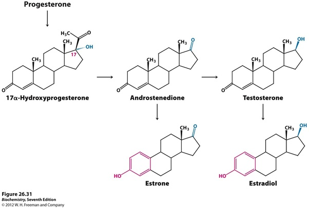 What is the difference between estrogen and testosterone