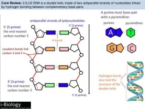 Is this NCERT diagram of DNA wrong, or is it a diagram of