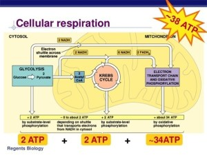 How to describe the cellular respiration in plants  Quora