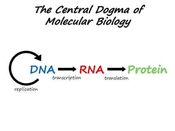What is the functional role of nucleic acids in protein
