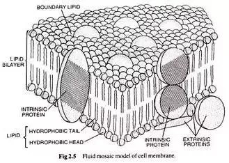diagram of fluid mosaic model cell membrane mitosis labeled who gave the plasma quora according to this has two layers bilayer phospholipids and types proteins intrinsic extrinsic