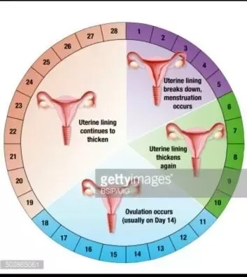 menstrual cycle diagram with ovulation stereo wire harness what is the meaning of fertile days quora in a woman regular 28 9th to 19th day considered be period