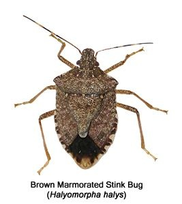 What can I do about stinky bugs in the house? - Quora