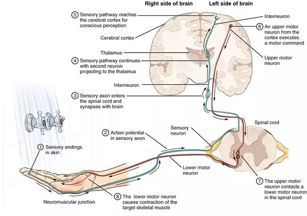 lower brain diagram ford sierra wiring 1990 what part of the that controls muscle movement how quora fibres this motor neuron then supply muscles which are situated at level spinal cord