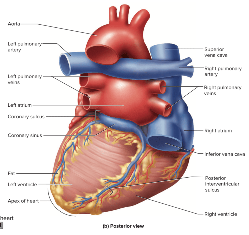 medium resolution of  because most of the left atrium is hidden behind the heart from an anterior view looking at the heart from behind gives a much different impression