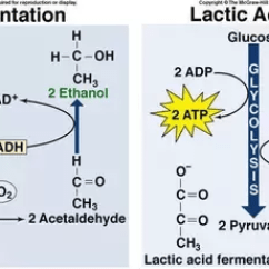 Stages Of Glycolysis And Fermentation Diagram 3 Way Switch Multiple Lights What Steps Are Involved In Quora Alcohol Pyruvate From Is Acted Upon By The Enzyme Decarboxylase Converting It To Acetaldehyde Liberating Co2