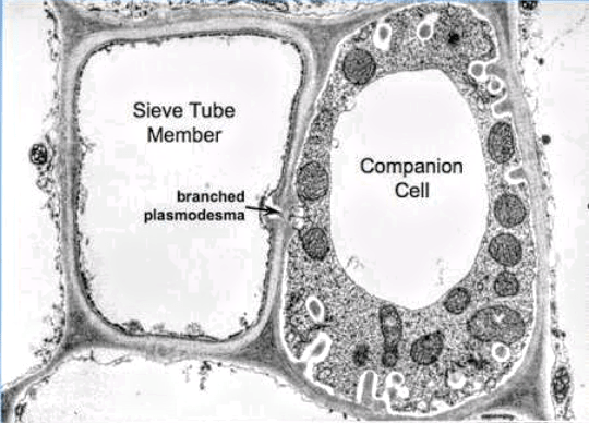 plant cell diagram with functions s plan plus wiring what is the function of a companion and sieve plate? - quora