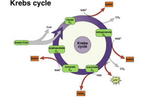 How can the Krebs cycle be summarized?  Quora