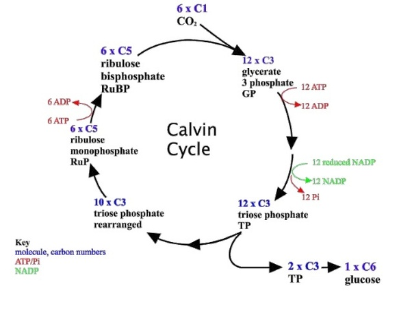 glycolysis cycle diagram suzuki lt50 pull start how is the calvin more superior than glycolysis? - quora