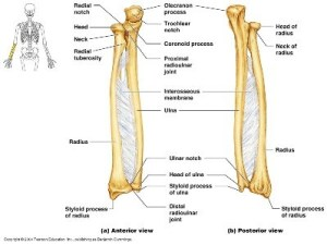 How to differentiate the ulna and the radius bones in a