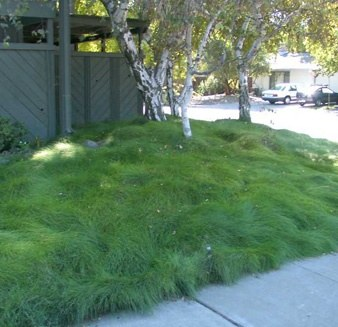 breed of grass