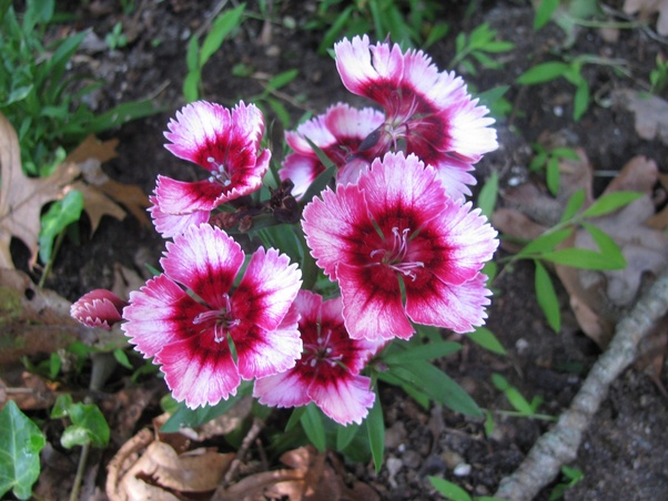 What flowers start with the letter 'D' (Photos)? - Quora
