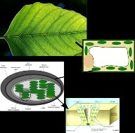 What is the name of green pigment in plants? - Quora