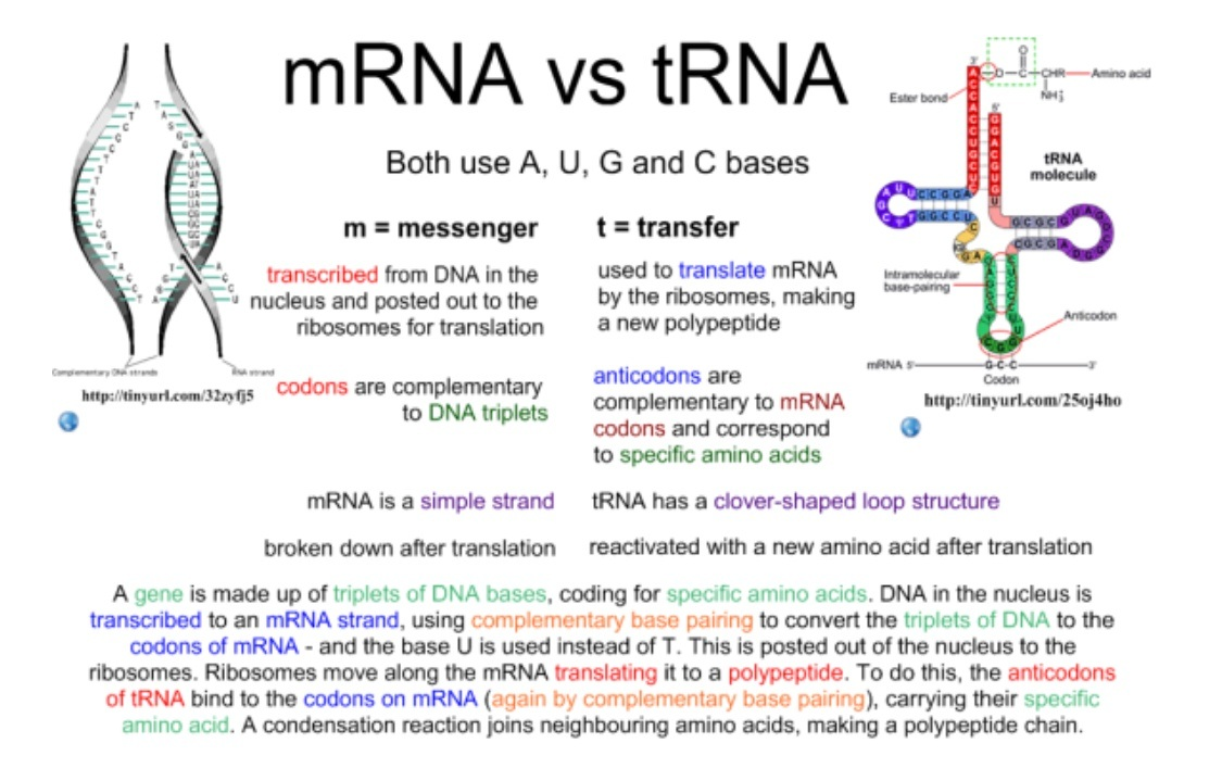 hight resolution of  carrier for genetic information from the dna to target recipients like ribosome for protein synthesis and production transfer rna trna attaches and