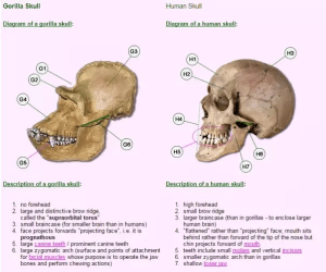 How do human and ape skulls pare to each other?  Quora