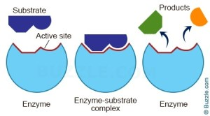 What is a simple explanation of how enzymes work?  Quora