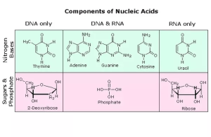 What are the monomers of DNA and RNA?  Quora