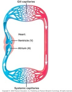 Why do humans have a double circulation system? - Quora