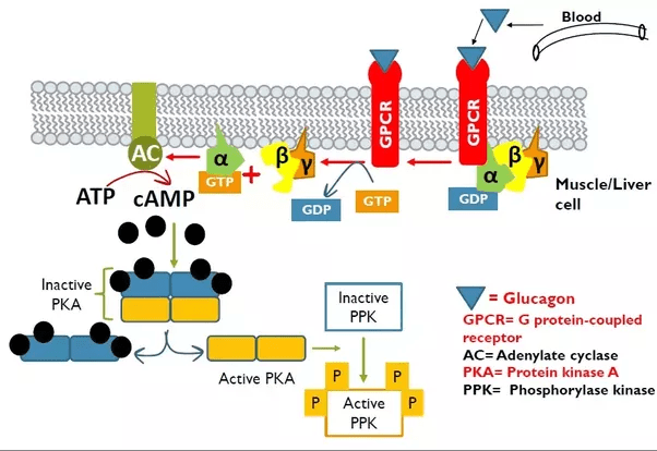 What are the mechanisms of action of glucagon? - Quora