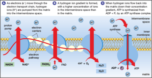 What is the function of the electron transport chain