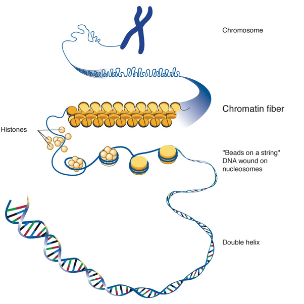 meiosis vs mitosis diagram deer butcher what are the differences between chromosomes, chromatids and chromatin? - quora