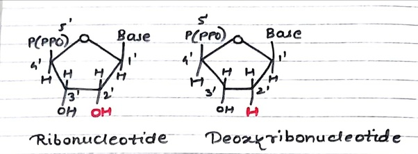 What is the difference between deoxyribonucleic acid and