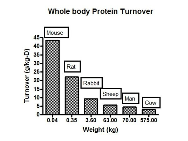 Do mice have protein turnover rates that are different