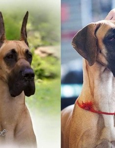 Natural eared danes to win  show in america ear cropping is hotly debated the   barb spot on regarding body and weight differences also how do american great euro differ quora rh