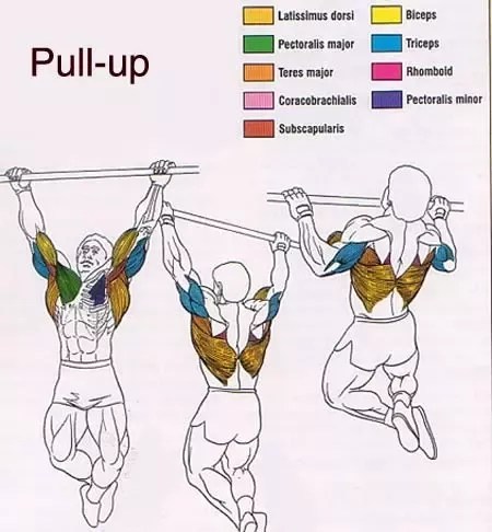 pull up muscles worked diagram harbor breeze pawtucket ceiling fan wiring which do properly executed ups train are there easier following get used during