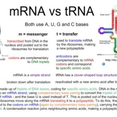 Venn Diagram Comparing Dna And Rna How To Read Wiring Diagrams For Cars What Are The Similarities Differences Between Structure Of Trna Mrna? - Quora