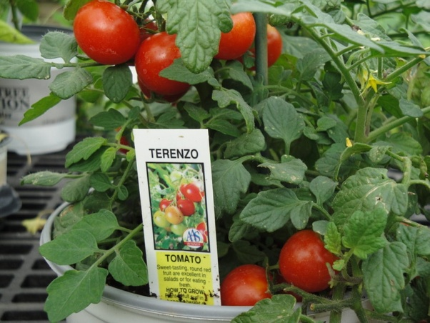 grow tomatoes in a container