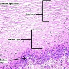 Skin Layers Diagram Labeled Simple 1995 Ford Explorer Wiring What Does 'squamous Epithelium' Mean In Anatomy? - Quora