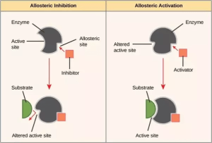 What are enzyme activators and inhibitors?  Quora