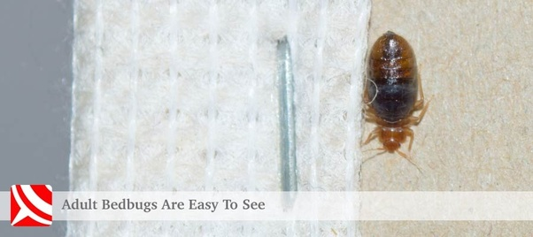 How long can bedbugs survive without feeding on blood? - Quora