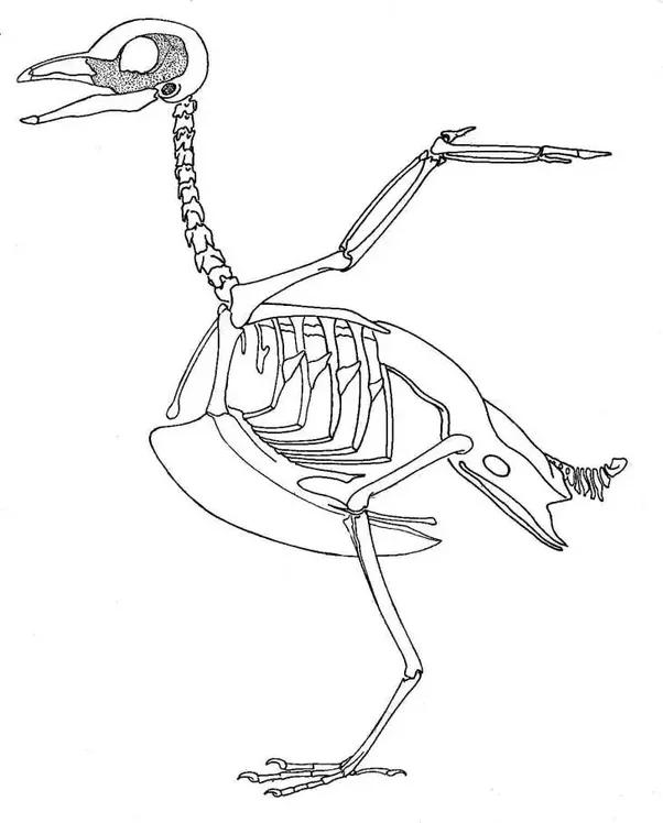 Why do human knees bend forward and birds' knees backward