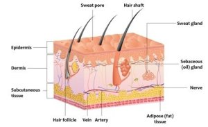 What is the most superficial dermis layer of the skin