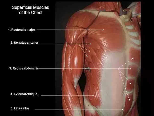 diagram of rib cage and muscles two speed motor wiring why do the guys with six pack abs not visible even when he has well developed pectorals serratus anterior muscle latissimus dorsi covers side
