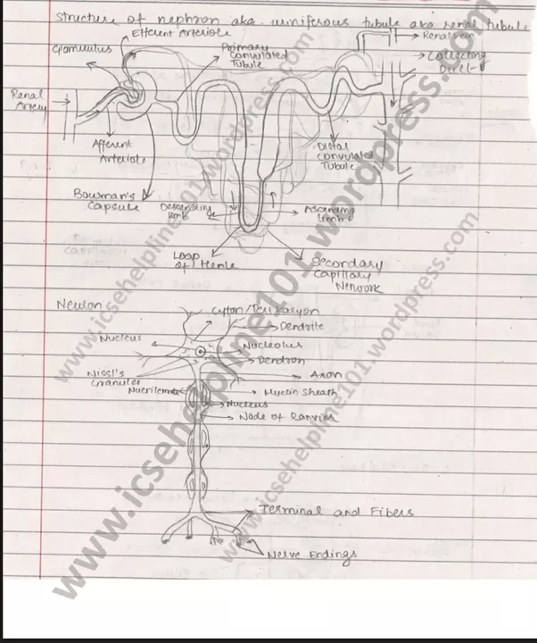 In ICSE biology, what important diagrams should be