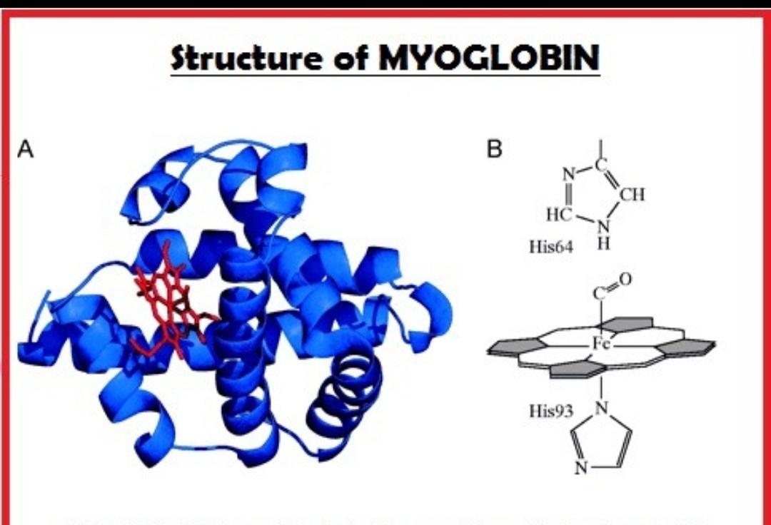hight resolution of and myoglobin has globular structure