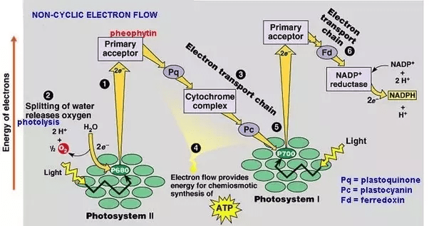 calvin cycle diagram trane heat pump parts what is the final electron accepter in noncyclic photophosphorylation? - quora