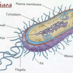 Plant Cell Diagram Animal Simple Drawing Hei Ignition Wiring What Are Some Examples Of Prokaryotic And Eukaryotic Cells? - Quora