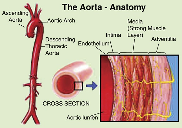 Layers Of Abdominal Wall Diagram Is Aorta An Organ Or A Tissue Quora