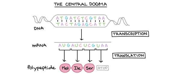 Why does RNA have a single strand? - Quora