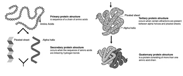 What is the difference between protein degradation and