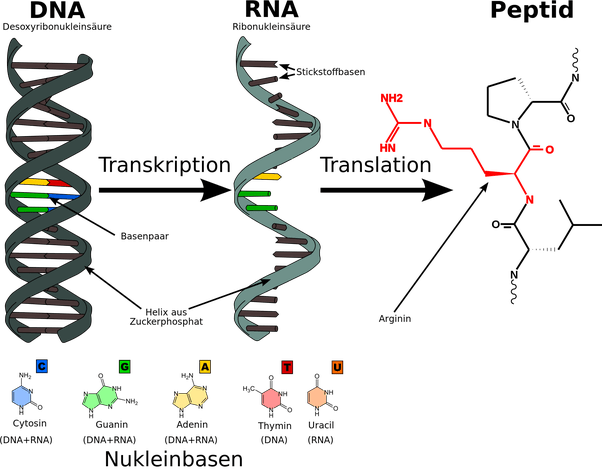 Why is RNA considered as a carrier of information? - Quora