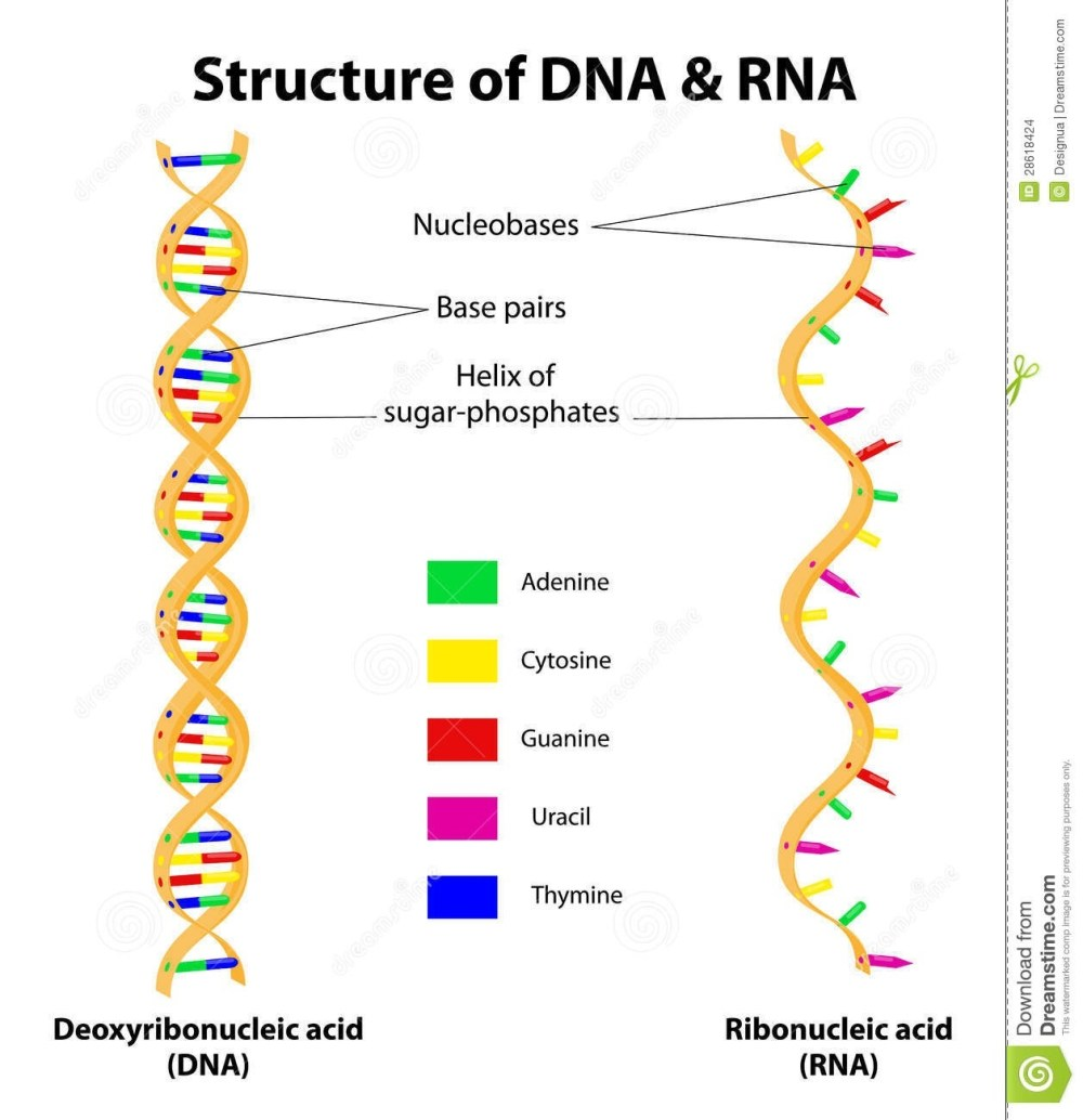 medium resolution of rna contains cytosine and uracil as pyrimidine bases while dna has cytosine and thymine both have the same purine bases i e guanine and adenine